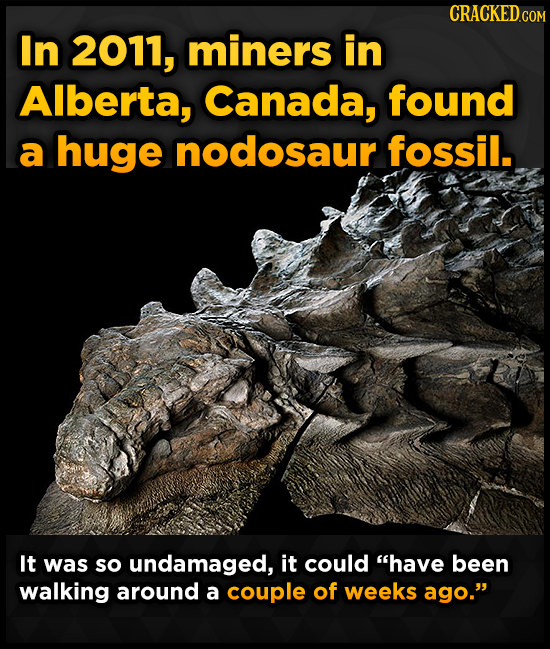 In 2011, miners in Alberta, Canada, found a huge nodosaur fossil. It was so undamaged, it could have been walking around a couple of weeks ago.