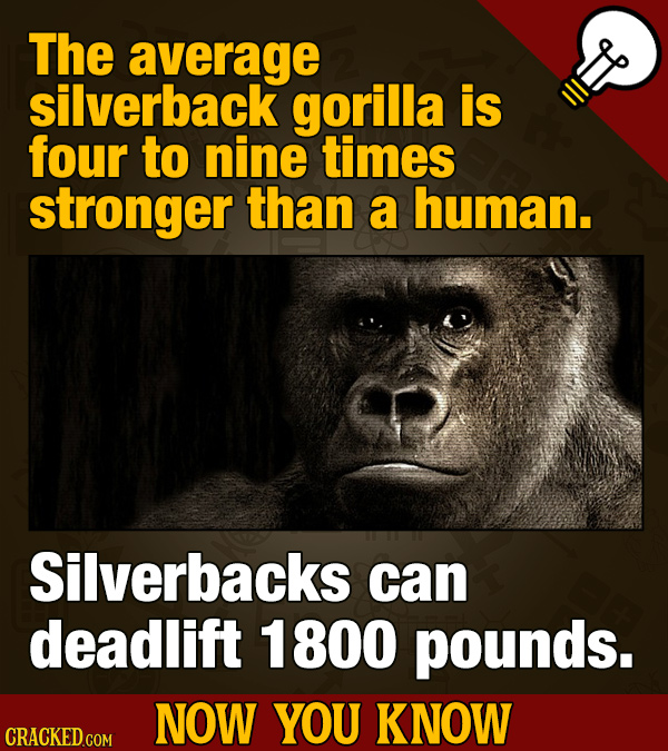 The average silverback gorilla is four to nine times stronger than a human. Silverbacks can deadlift 1800 pounds. NOW YOU KNOW CRACKED COM