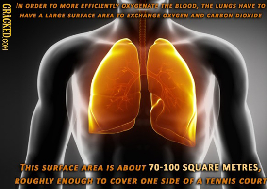 CRACKED.COM IN ORDER TO MORE EFFICLENTLY OXYGENATB THE BLOOD, THE LUNGS HAVE TO HAVE A LARGE SURFACE AREA TO EXCHANGE OXYGEN AND CARBON DIOXIDE THIS S