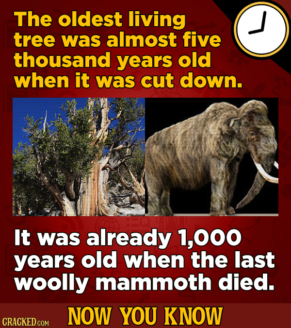The oldest living tree was almost five thousand years old when it was cut down. It was already 1,000 years old when the last woolly mammoth died. NOW