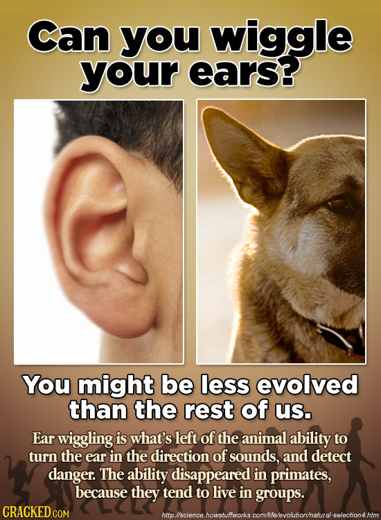 Can you wiggle your ears? You might be less evolved than the rest of us. Ear wiggling is what's left of the animal ability to turn the ear in the dire