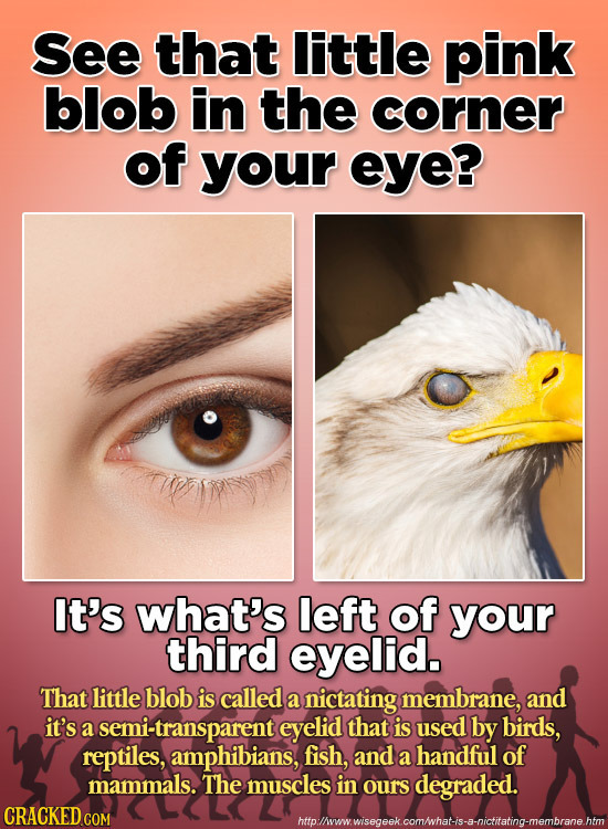 See that Iittle pink blob in the corner of your eye? It's what's left of your third eyelid. That little blob is called a nictating membrane, and it's