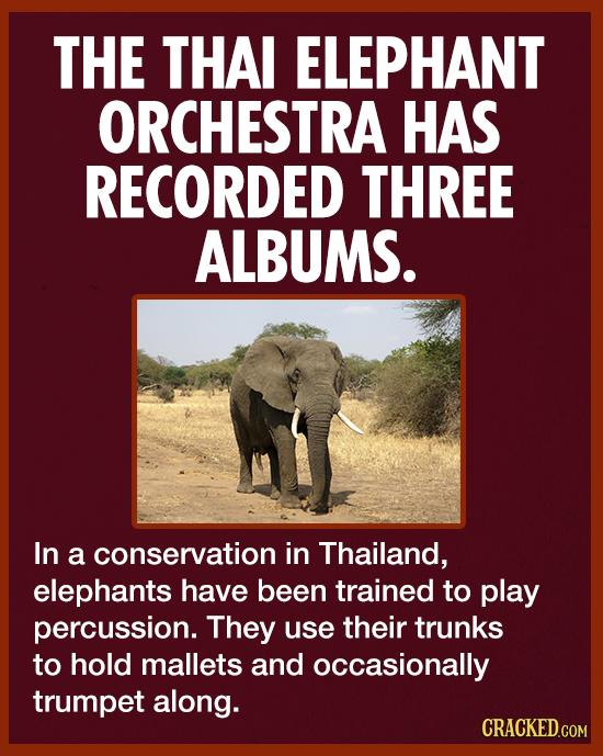 THE THAI ELEPHANT ORCHESTRA HAS RECORDED THREE ALBUMS. In a conservation in Thailand, elephants have been trained to play percussion. They use their t