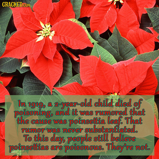 In 2-year-old child died 1919, of a 2 poisoning, and it rumored that was the cause was poinsettia leaf. That substantiated rumor was never To this day