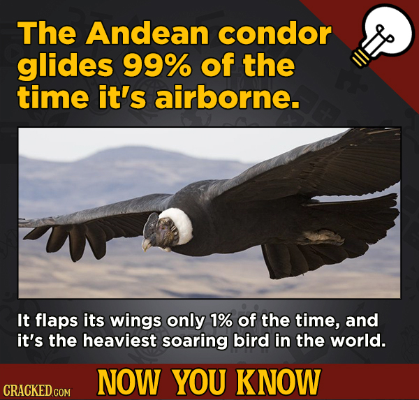 13 Little Things You Didn't Know About Movies And A Bunch Of Other Subjects - The Andean condor glides 99% of the time it's airborne.