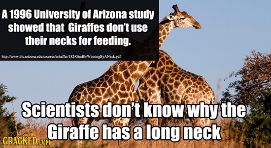 A 1996 University of Arizona study showed that Giraffes don't use their necks for feeding. hmtpefwww. ie rineon ade Cirfel WinningyANeck.pdf Scientist