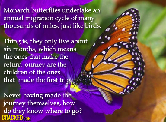 Monarch butterflies undertake an annual migration cycle of many thousands of miles, just like birds. Thing is, they only live about six months, which