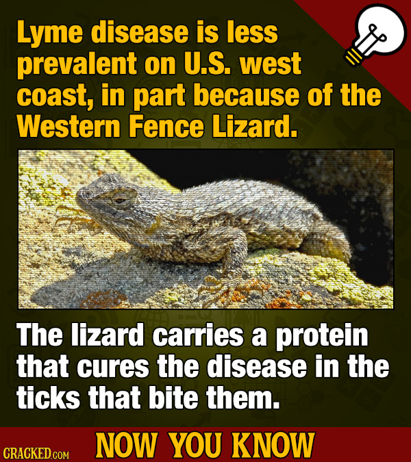 Lyme disease is less prevalent on U.S. west coast, in part because of the Western Fence Lizard. The lizard carries a protein that cures the disease in