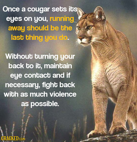 Once a cougar sets its eyes on you, running away should be the last thing you do. Without turning your back to it, maintain eye contact and if necessa
