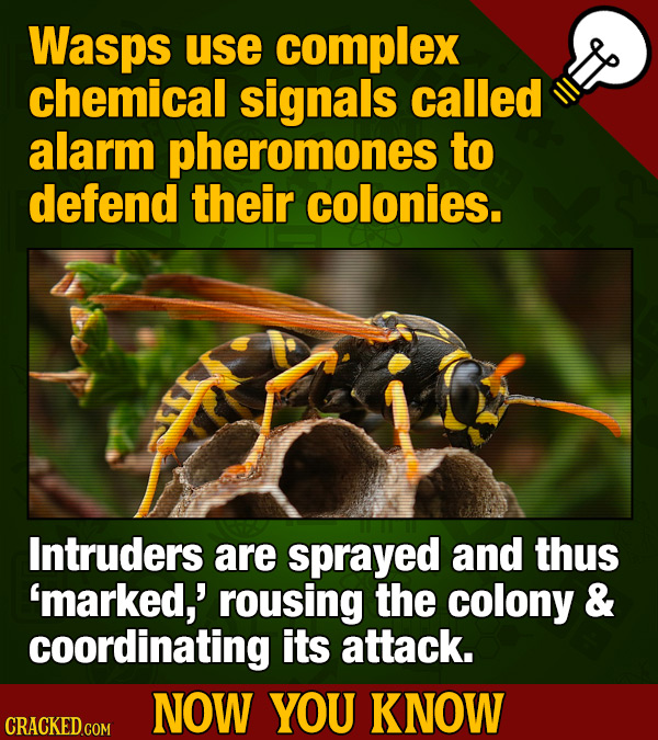 Wasps use complex chemical signals called alarm pheromones to defend their colonies. Intruders are sprayed and thus 'marked,' rousing the colony & coo