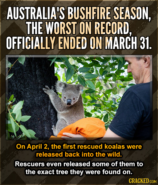 AUSTRALIA'S BUSHFIRE SEASON, THE WORST ON RECORD, OFFICIALLY ENDED ON MARCH 31. On April 2, the first rescued koalas were released back into the wild.