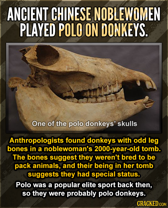 ANCIENT CHINESE NOBLEWOMEN PLAYED POLO ON DONKEYS. One of the polo donkeys' skulls Anthropologists found donkeys with odd leg bones in a noblewoman's