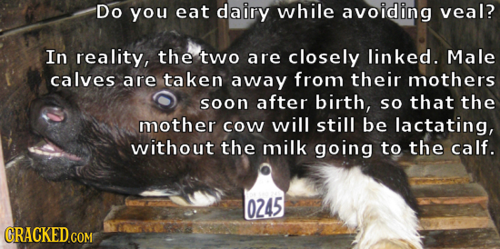 Do you eat dairy while avoiding veal? In reality, the two are closely linked. Male calves are taken away from their mothers soon after birth, so that