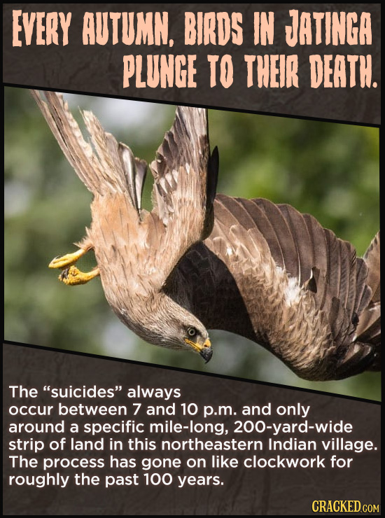 EVERY AUTUMN, BIRDS IN JATINGA PLUNGE TO THEIR DEATH. The suicides always occur between 7 and 10 p.m. and only around a specific mile-long, 200-yard