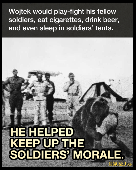Wojtek would play-fight his fellow soldiers, eat cigarettes, drink beer, and even sleep in soldiers' tents. HE HELPED KEEP UP THE SOLDIERS' MORALE. CR