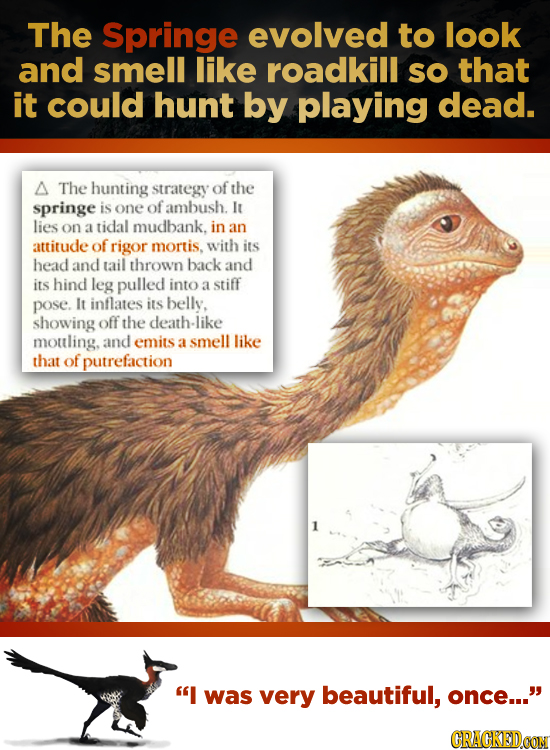 The Springe evolved to look and smell like roadkill sO that it could hunt by playing dead. A The hunting strategy of the springe is one of ambush. It