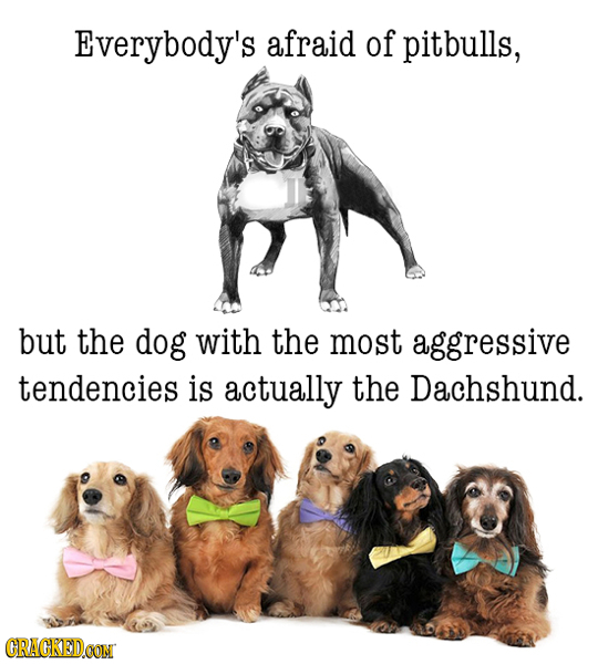 Everybody's afraid of pitbulls, but the dog with the most aggressive tendencies is actually the Dachshund. CRACKEDCON