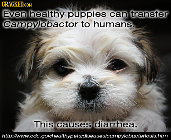 CRACKED Even healthy puppies can transfer Campylobactor to humans. This causes diarrhea. httplinow.coc.govhealthypelsdiseasescampylobacteriosishtm