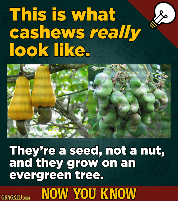 This is what cashews really look like. They're a seed, not a nut, and they grow on an evergreen tree. NOW YOU KNOW CRACKED COM