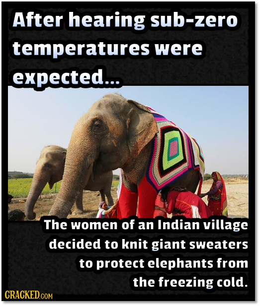 After hearing sub-zero temperatures were expected.... The women of an Indian village decided to knit giant sweaters to protect elephants from the free