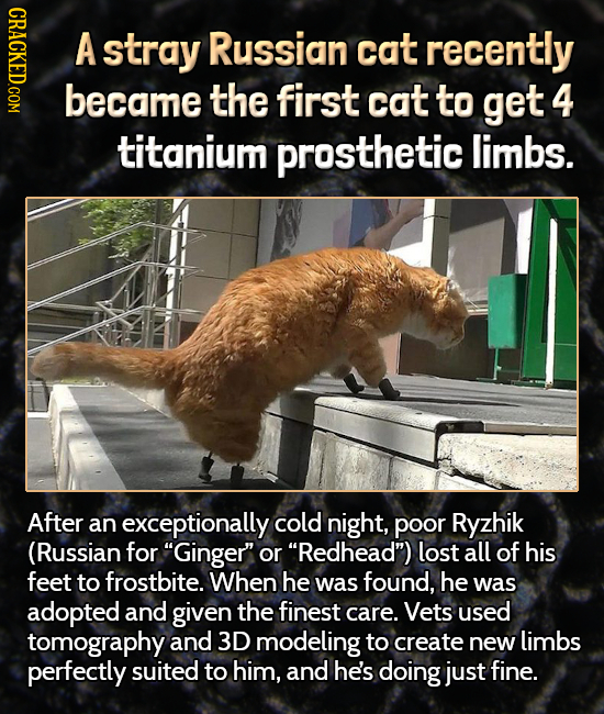 HDLO A stray Russian cat recently became the first cat to get 4 titanium prosthetic limbs. After an exceptionally cold night, poor Ryzhik (Russian for