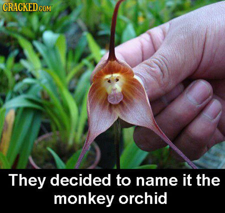 CRACKEDCO COM They decided to name it the monkey orchid