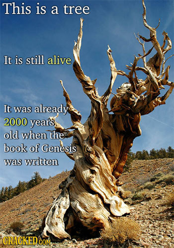 This is a tree It is still alive It was already 2000 years old when the book of Genesis was written CRACKEDCON