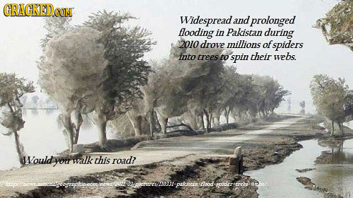 GRAGKEDo CONT Widespread. and prolonged llooding in Pakistan during 2010 drove millions of spiders into trees to spin their webs. Nould you walk this