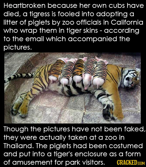 Heartbroken because her own cubs have died, a tigress is fooled into adopting a litter of piglets by Zoo officials in California who wrap them in tige