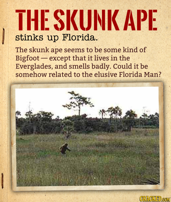 THE SKUNK APE stinks up Florida. The skunk ape seems to be some kind of Bigfoot except that it lives in the Everglades, and smells badly. Could it be