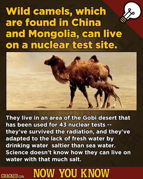 Now You Know: 13 Facts That'll Exert The Old Cerebellum   - Wild camels, which are found in China and Mongolia, can live on a nuclear test site.