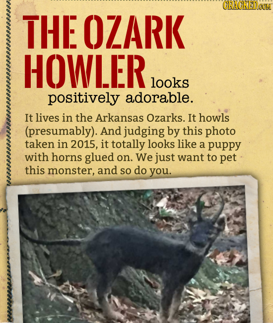THE OZARK HOWLER looks positively adorable. It lives in the Arkansas Ozarks. It howls (presumably). And judging by this photo taken in 2015