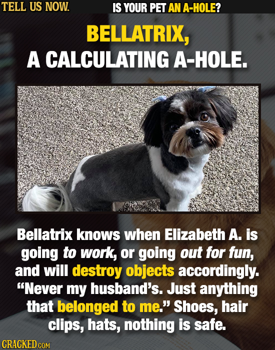 TELL US NOW. IS YOUR PET AN A-HOLE? BELLATRIX, A CALCULATING A-HOLE. Bellatrix knows when Elizabeth A. is going to work, or going out for fun, and wil