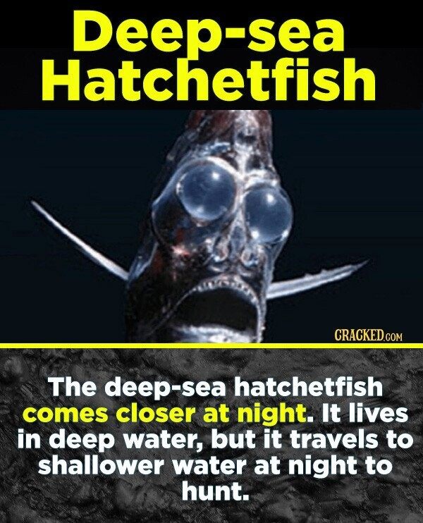 19 Terrifying Real-World Monsters You Won't Believe Exist - The deep-sea hatchetfish comes closer at night. It lives in deep water, but it travels to