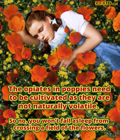 CRACKED.COM The opiates in poppies need to be cultivated as they are not naturally volatile So no, you won't fal asleep from crossing a field of the f
