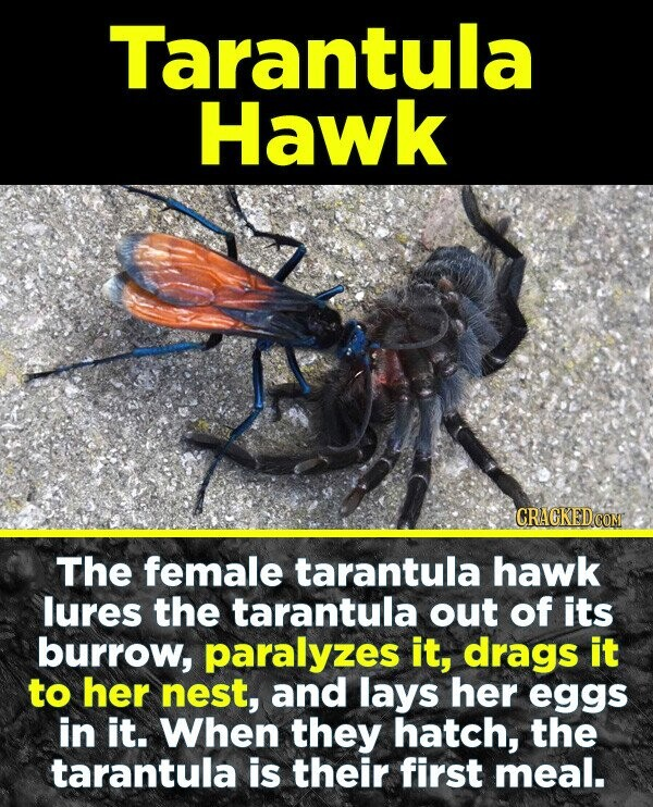 19 Terrifying Real-World Monsters You Won't Believe Exist - The female tarantula hawk lures the tarantula out of its burrow, paralyzes it, drags it to