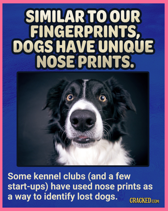 SIMILAR TO OUR FINGERPRINTS, DOGS HAVE UNIQUE NOSE PRINTS. Some kennel clubs (and a few start-ups) have used nose prints as a way to identify lost dog