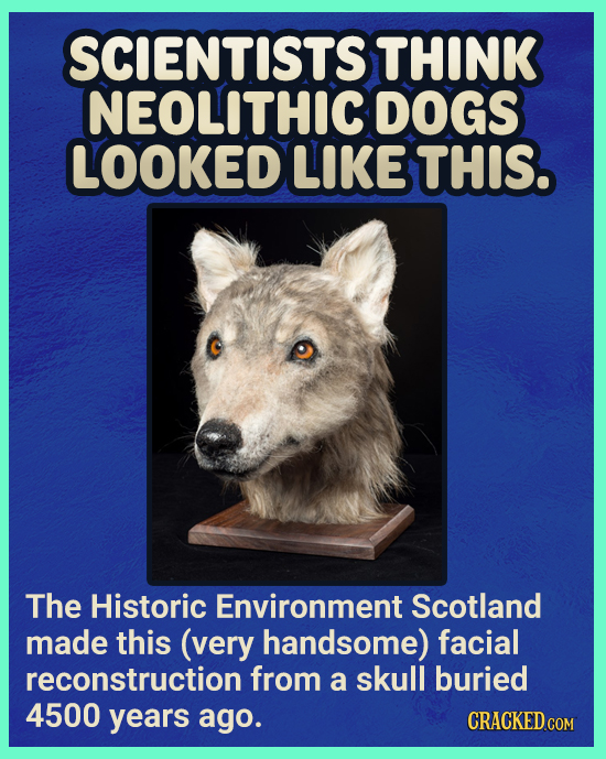 SCIENTISTS THINK NEOLITHIC DOGS LOOKED LIKE THIS. The Historic Environment Scotland made this (very handsome) facial reconstruction from a skull burie