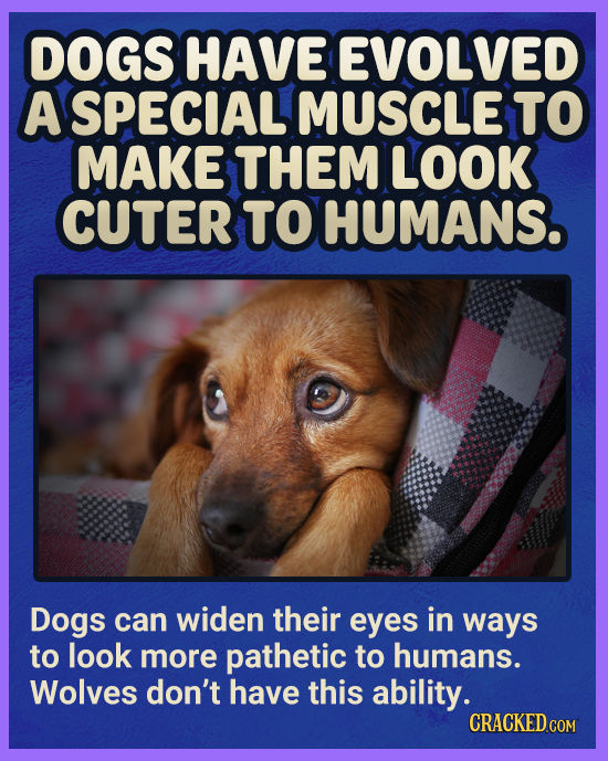 DOGS HAVE EVOLVED A SPECIAL MUSCLE TO MAKE THEM LOOK CUTER TO HUMANS. Dogs can widen their eyes in ways to look more pathetic to humans. Wolves don't