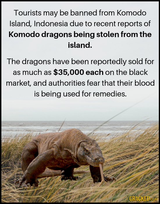 Tourists may be banned from Komodo Island, Indonesia due to recent reports of Komodo dragons being stolen from the island. The dragons have been repor