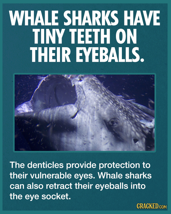 WHALE SHARKS HAVE TINY TEETH ON THEIR EYEBALLS. The denticles provide protection to their vulnerable eyes. Whale sharks can also retract their eyeball