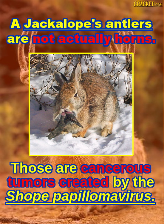 CRACKED C A Jackalopei's antlers are not actually hornsb Those are cancerous tumors created by the Shope papillomavirus.
