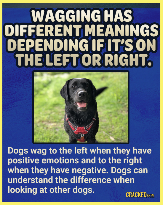 WAGGING HAS DIFFERENT MEANINGS DEPENDING IF IT'S ON THE LEFT OR RIGHT. Dogs wag to the left when they have positive emotions and to the right when the