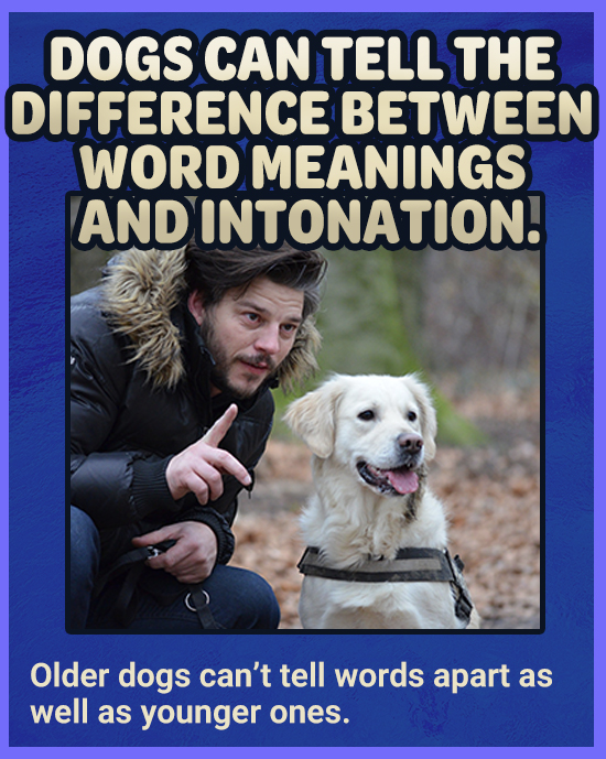 DOGS CAN TELL THE DIFFERENCE BETWEEN WORD MEANINGS AND DINTONATION! Older dogs can't tell words apart as well as younger ones.