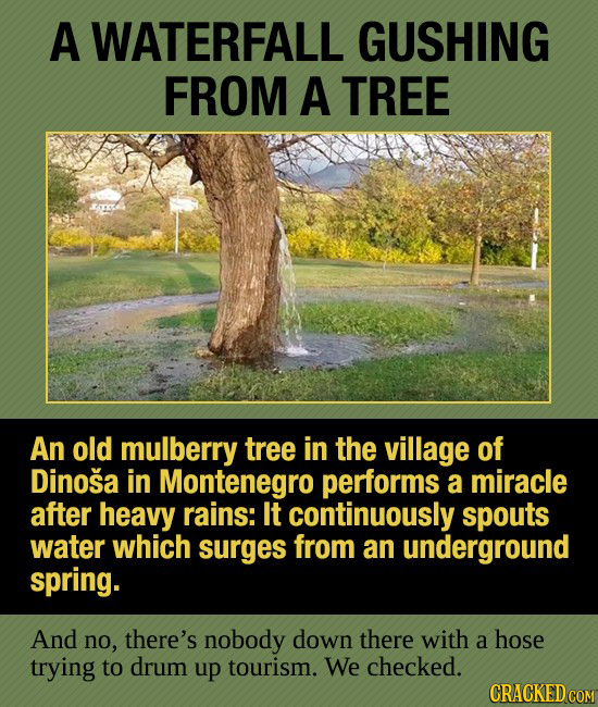 A WATERFALL GUSHING FROM A TREE An old mulberry tree in the village of Dinosa in Montenegro performs a miracle after heavy rains: It continuously spou
