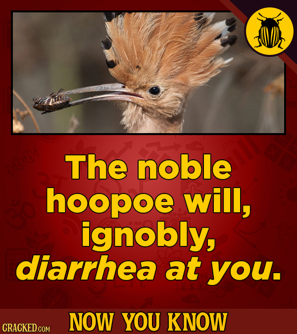 The noble hoopoe will, ignobly, diarrhea at you. NOW YOU KNOW CRACKED COM