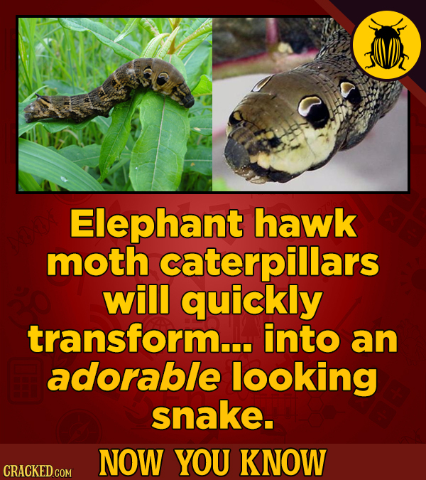 Elephant hawk moth caterpillars will quickly transform... into an adorable looking snake. NOW YOU KNOW CRACKED COM