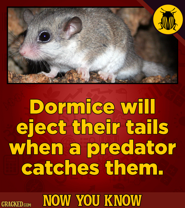 Dormice will eject their tails when a predator catches them. NOW YOU KNOW CRACKED COM