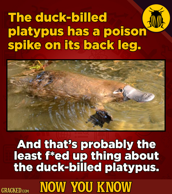 The duck-billed platypus has a poison spike on its back leg. And that's probably the least f*ed up thing about the duck-billed platypus. NOW YOU KNOW