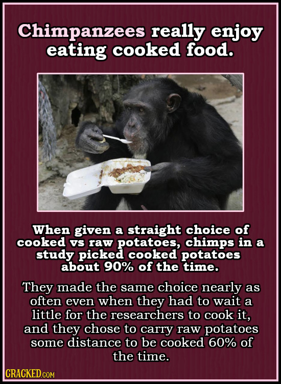 Chimpanzees really enjoy eating cooked food. When given a straight choice of cooked Vs raw potatoes, chimps in a study picked cooked potatoes about 90